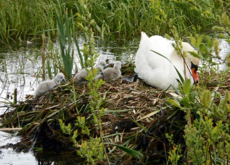 Gulbji ar mazuļiem Ulubeles dabas parkā