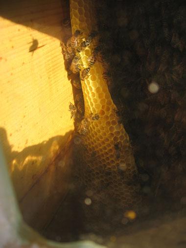 Warre strops ar bišu šūnām