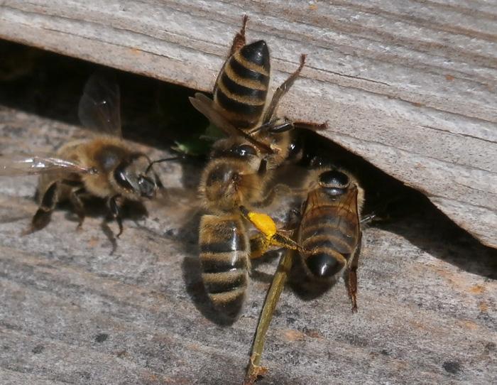 Bites čakli strādā