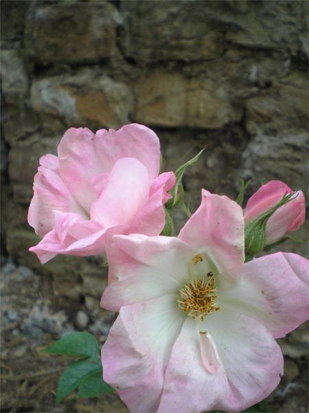 Ābeļu roze