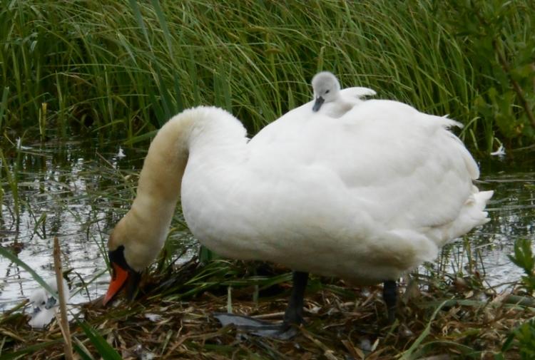 Gulbju mazuļi omulīgi iekārtojušies uz gulbju mātes muguras