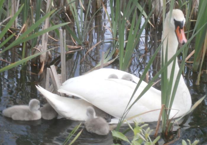 Gulbju mazuļi slēpjas gulbim uz muguras