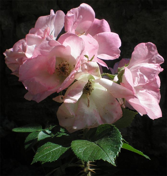 Rožu dārzs ar ķieģeļu arkām