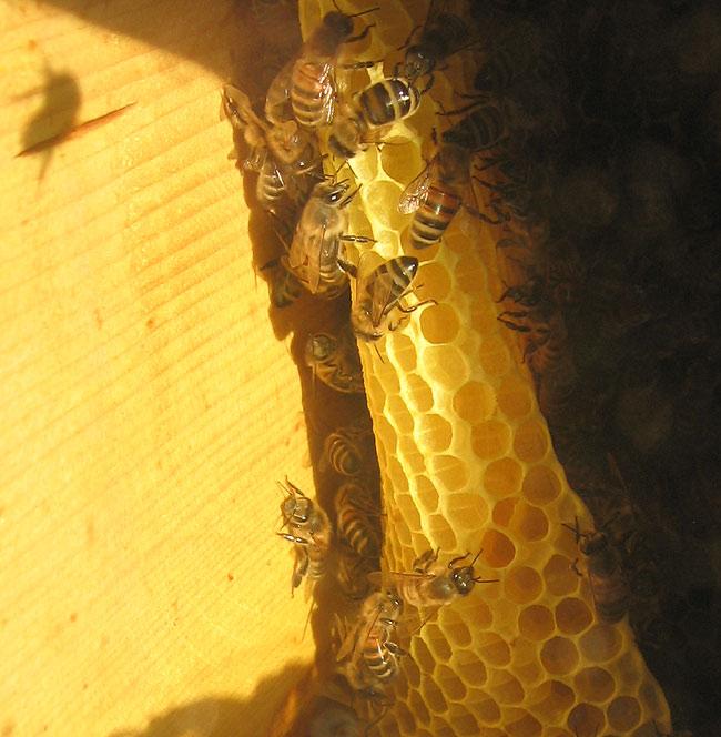 Warre strops, bišu šūnas